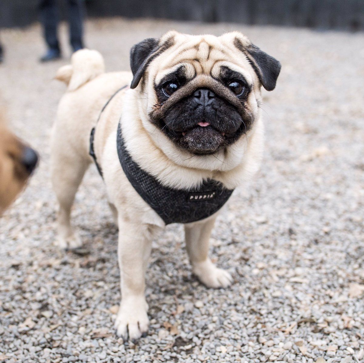 Thedogist 10h Lucia Pug 3 Y O Madison Square Park New York