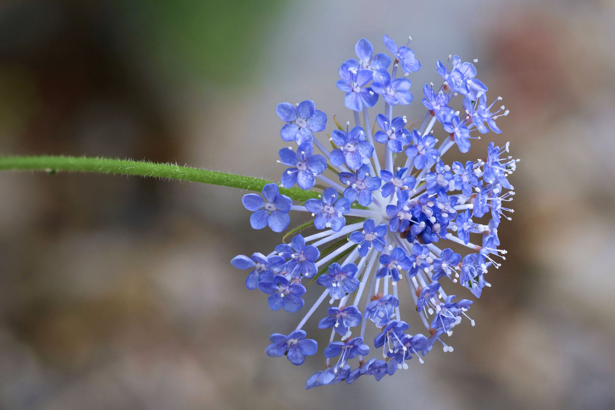 Didiscus Caerulea Didiscus Caerulea Or Trachymene Coerulea Is Commonly Known As The Blue Lace Flower It Is Native To Austral Caerulea Lace Flowers Flowers