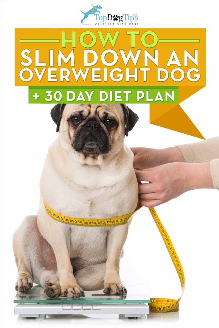 How To Slim Down An Overweight Dog 30 Day Diet Plan Overweight