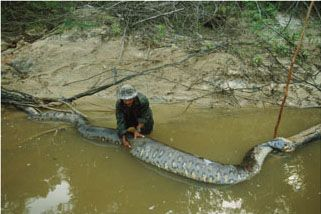 World S Biggest Anaconda Ever The Green Anaconda Is The Largest
