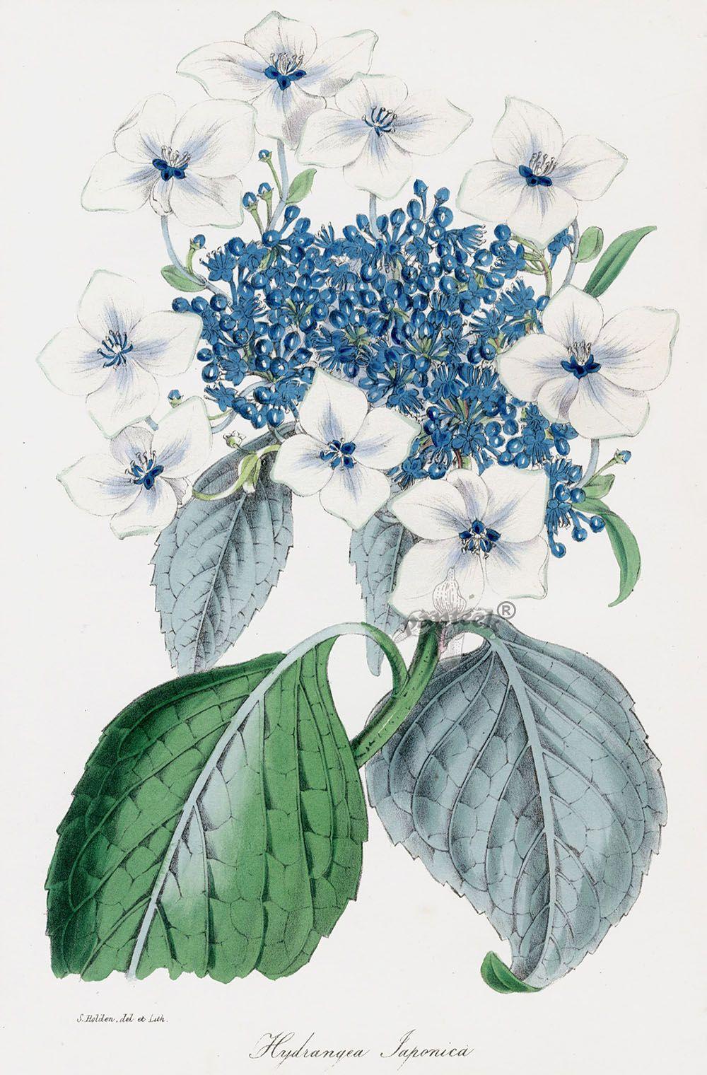 Hydrangea from Paxton Magazine Botany Antique Prints 1834