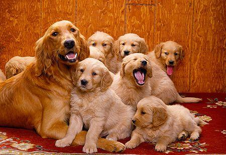 Golden Retriever Noble Loyal Companions Golden Retriever