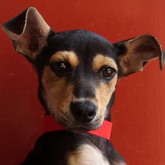 Adopt A Pet Dog Adoption Pets Dogs Up For Adoption