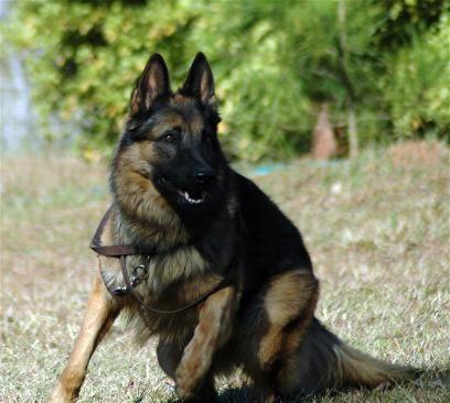 German Shepherd Strong And Loyal Black German Shepherd German