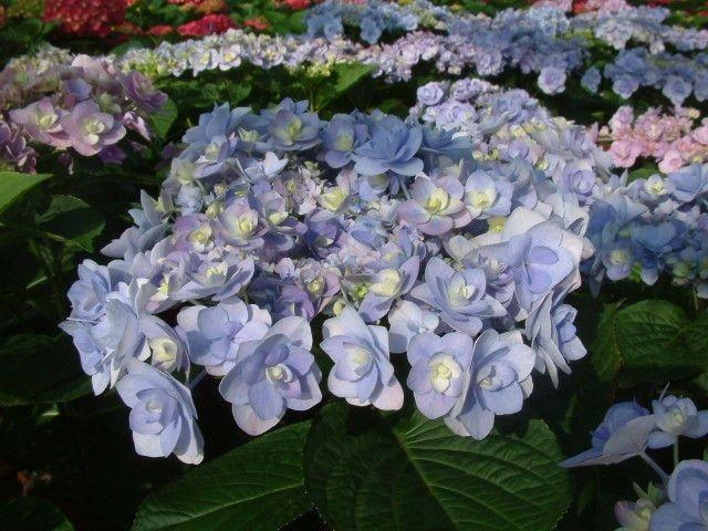 Hortensja Ogrodowa Z Serii You Me Passion Hydrangea Macrophylla