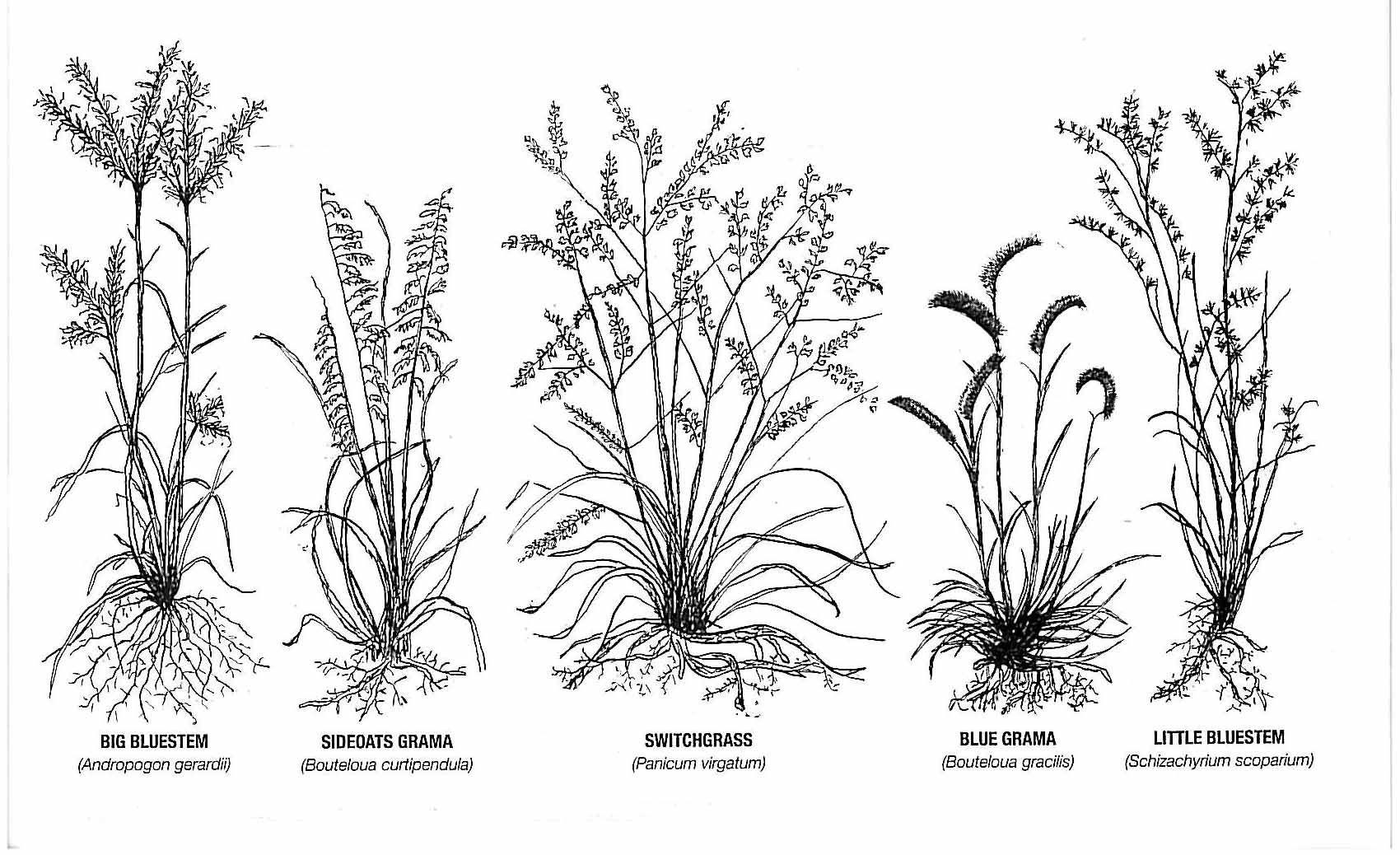 Prairie Grass Tattoo Research Switchgrass Little Bluestem