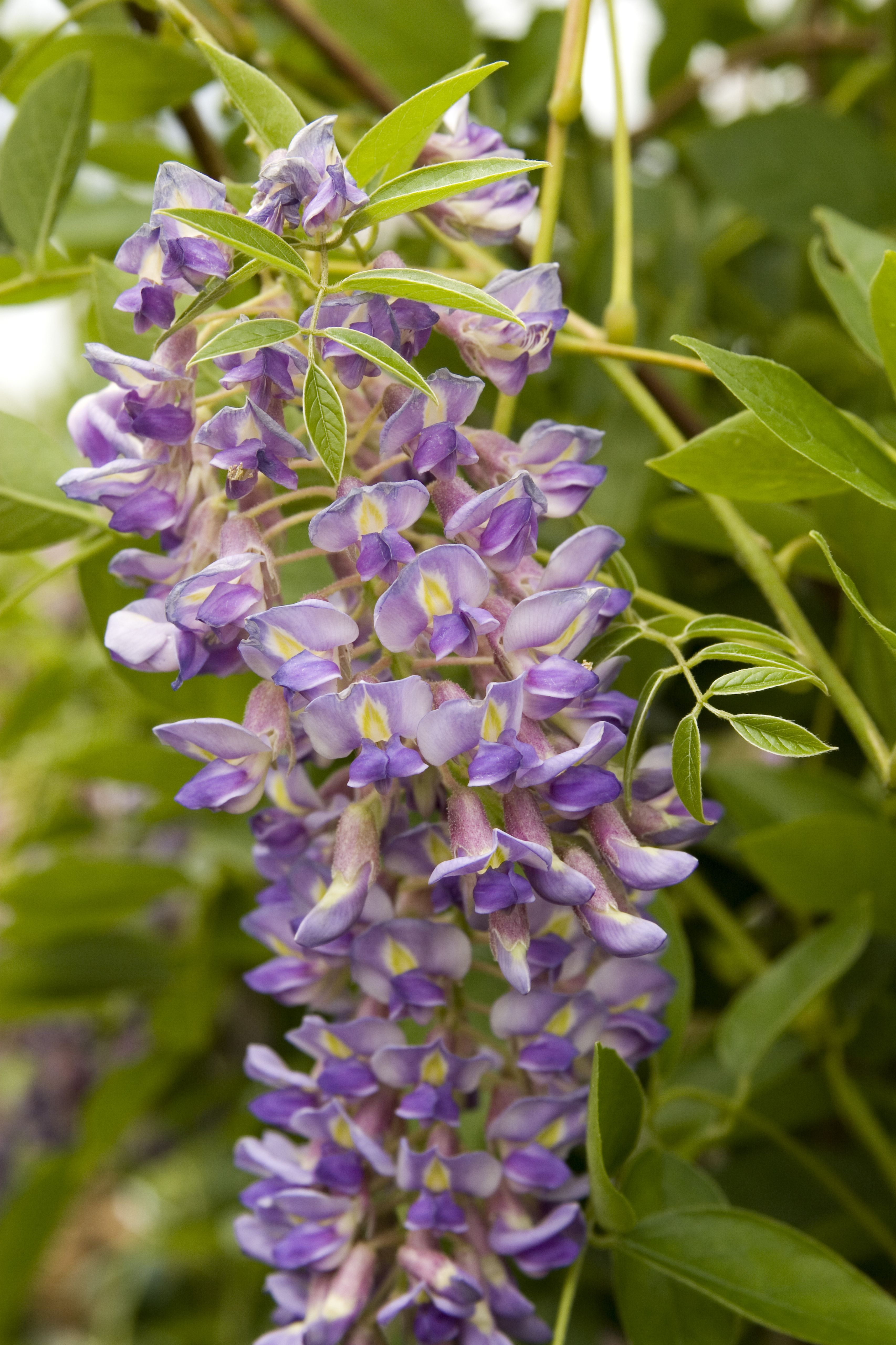 Blue Moon Kentucky Wisteria Is The Hardiest Of Wisteria Dependably Blooms Up To Three Times In A Growing Season Once Estab Flower Garden Plans Wisteria Plants