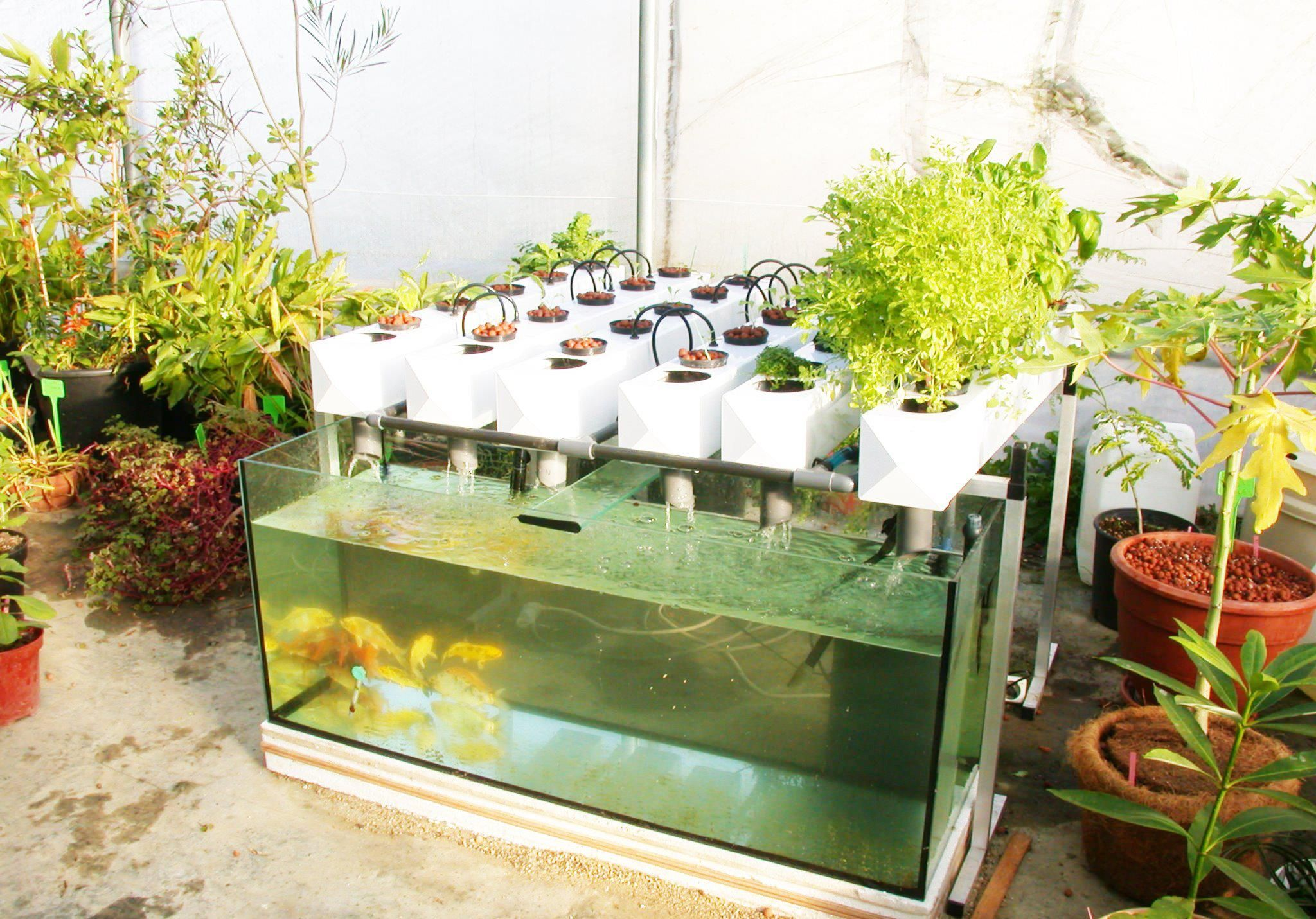 aquaponics systems grow food and fish at the sme time in a