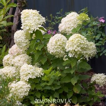 Little Lime Hardy Hydrangea Repeat Blooming In Summer Great Poolside Plant Container Plant Prune Little Lime Hydrangea Panicle Hydrangea Hardy Hydrangea