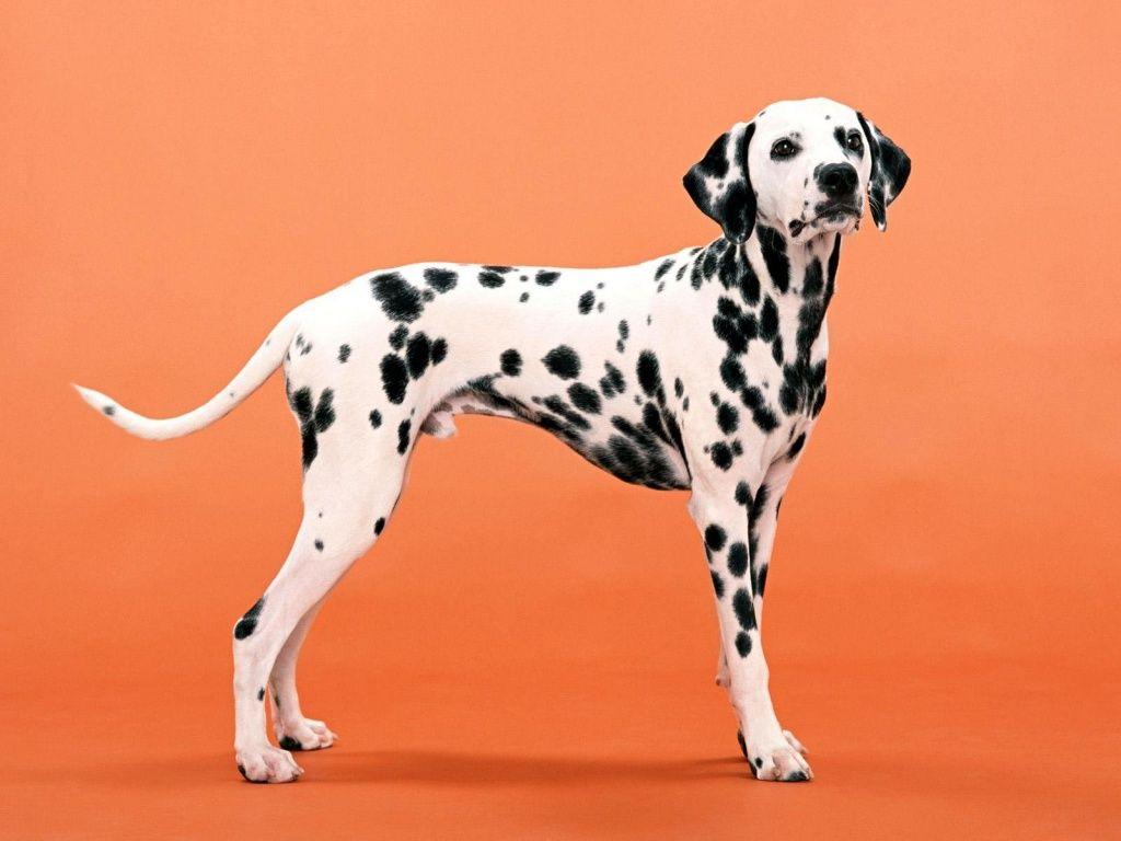 Dalmation Dog Photo