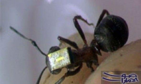 النمل الأبيض العملاق يحمي نفسه من الأمراض قال علماء من أمريكا إن النمل الأبيض العملاق يقى