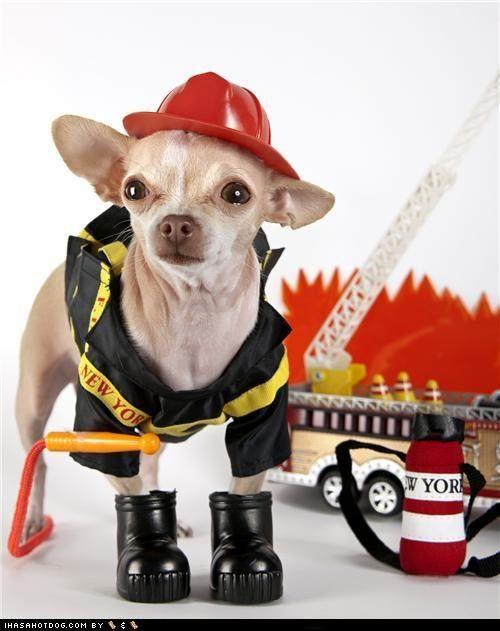 Chihuahua Halloween Costumes Fireman Halloween Halloween
