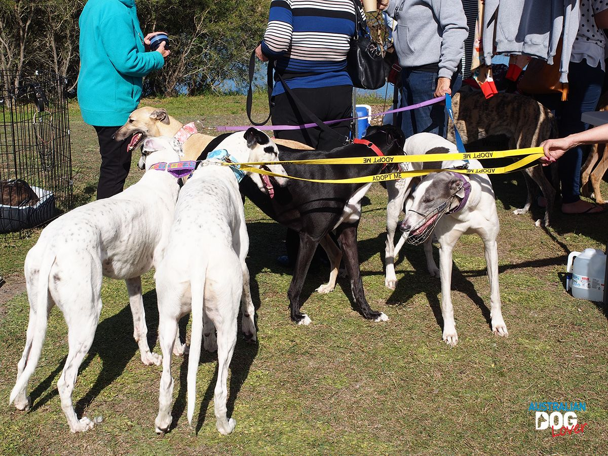 Street Paws Festival Central Coast May 26 Australian Dog Lover Streetpawsfestival Centralcoast Dogevents Australiandoglover Greyhound Gre Dogs Day Out
