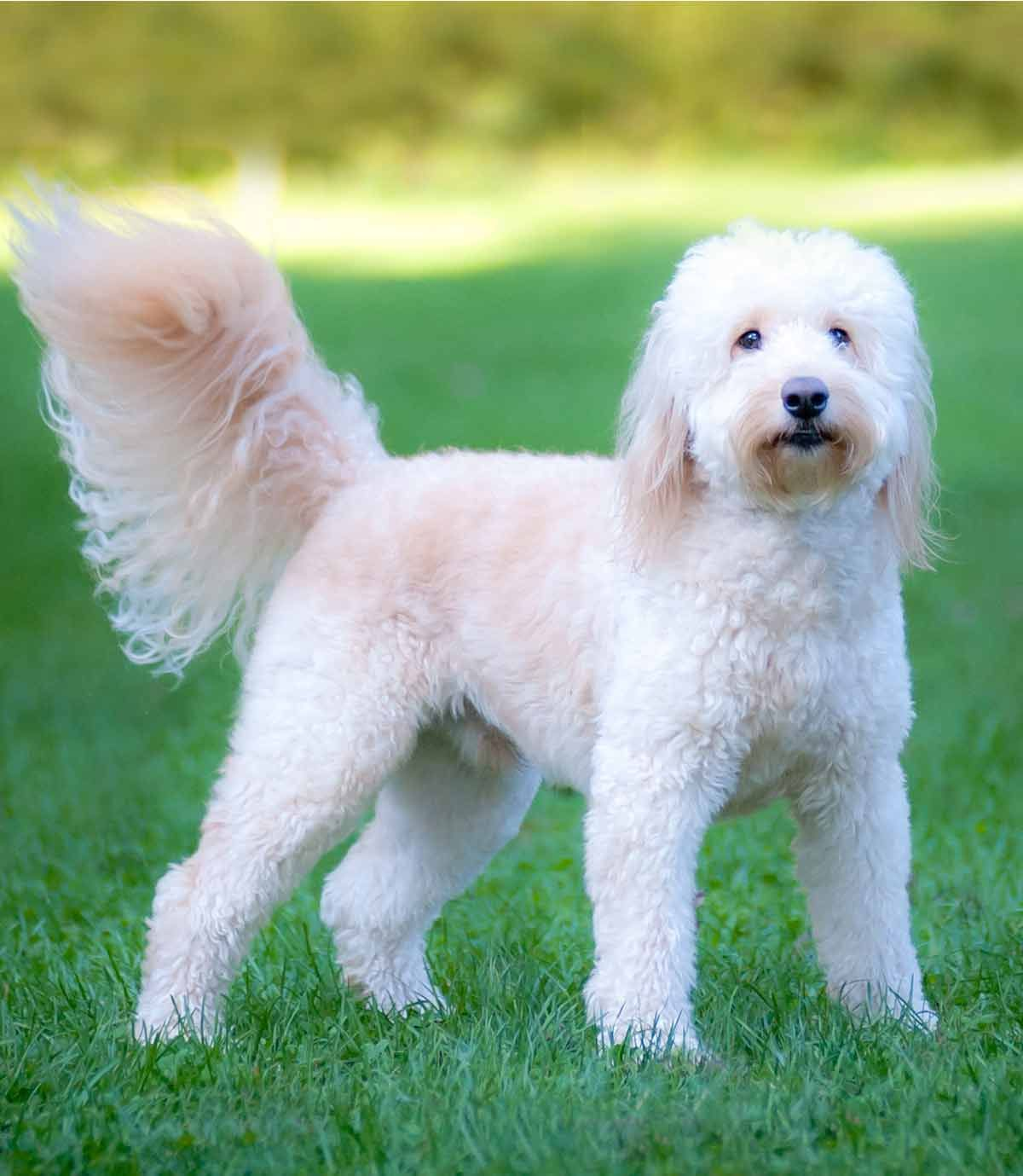 Labradoodle Vs Goldendoodle What Is The Difference Between Them