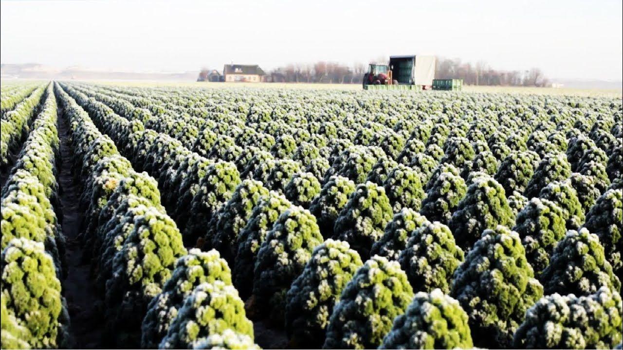 Awesome Kale Cultivation Technology Kale Farm And Harvest Kale Processing Factory Youtube Harvesting Kale Harvest Farm