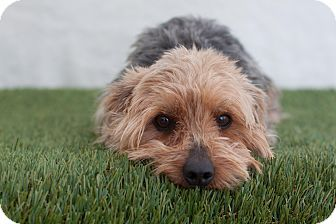 Elk Grove Ca Yorkie Yorkshire Terrier Meet Cody A Dog For