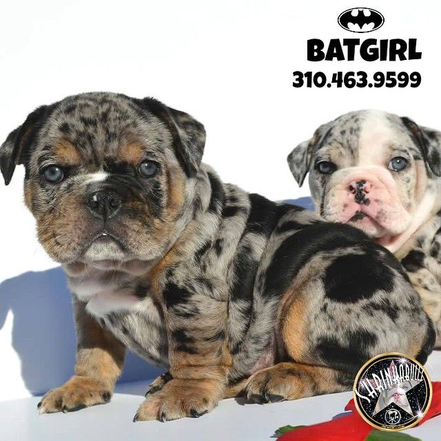 Black Tri Merle Puppies Bulldog Valley Bulldog