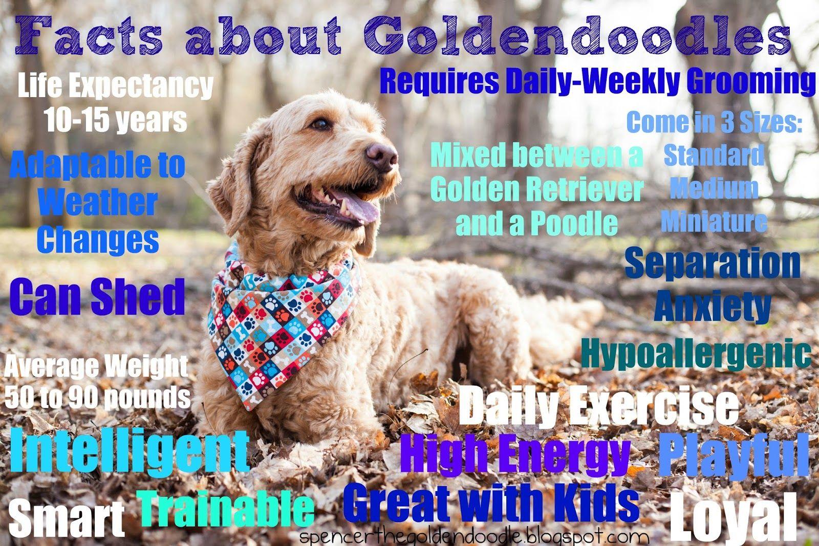 8 Photos Of Happiness Goldendoodle Golden Retriever Retriever