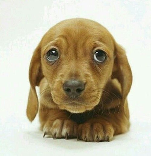 Cute Puppy with Sad Eyes. for more | ♡Animal Lover ...