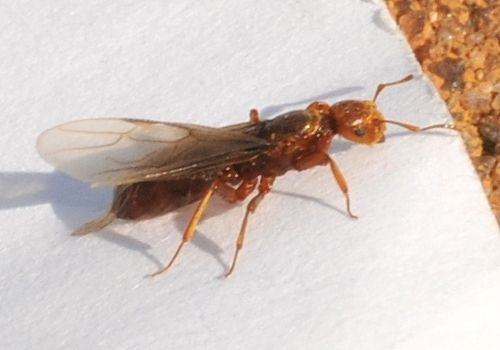 This Is Both A Lasius Genus And An Acanthomyops Subgenus Description