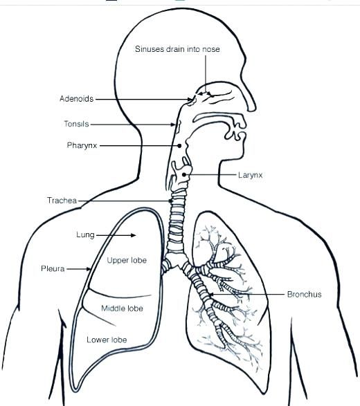 free coloring pages respiratory system incredible amazing
