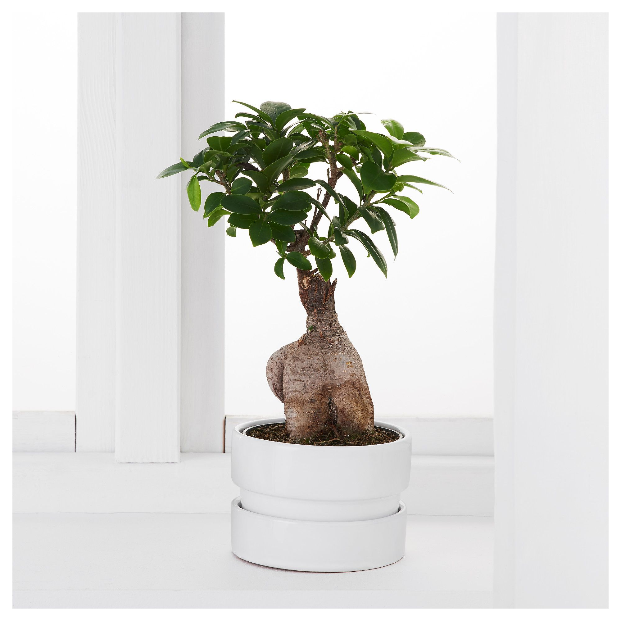 Ginseng Pflanze Ficus Microcarpa Ginseng Potted Plant With Pot Bonsai Assorted