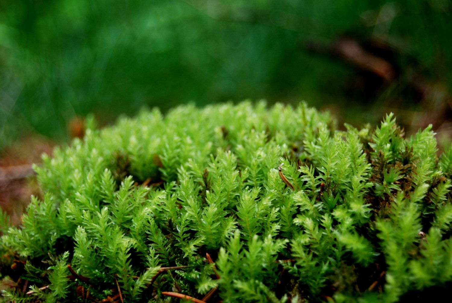 Awesome Live Moss, Lowland Moss, For Terrarium, Vivarium, Frogs, Miniature Garden Or