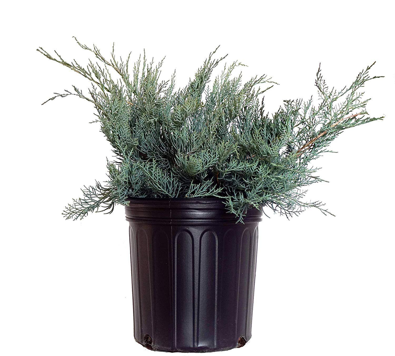 Pin On Juniper Plants To Buy