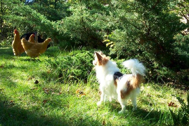 Custom life size Papillon Designer Dog Miniature