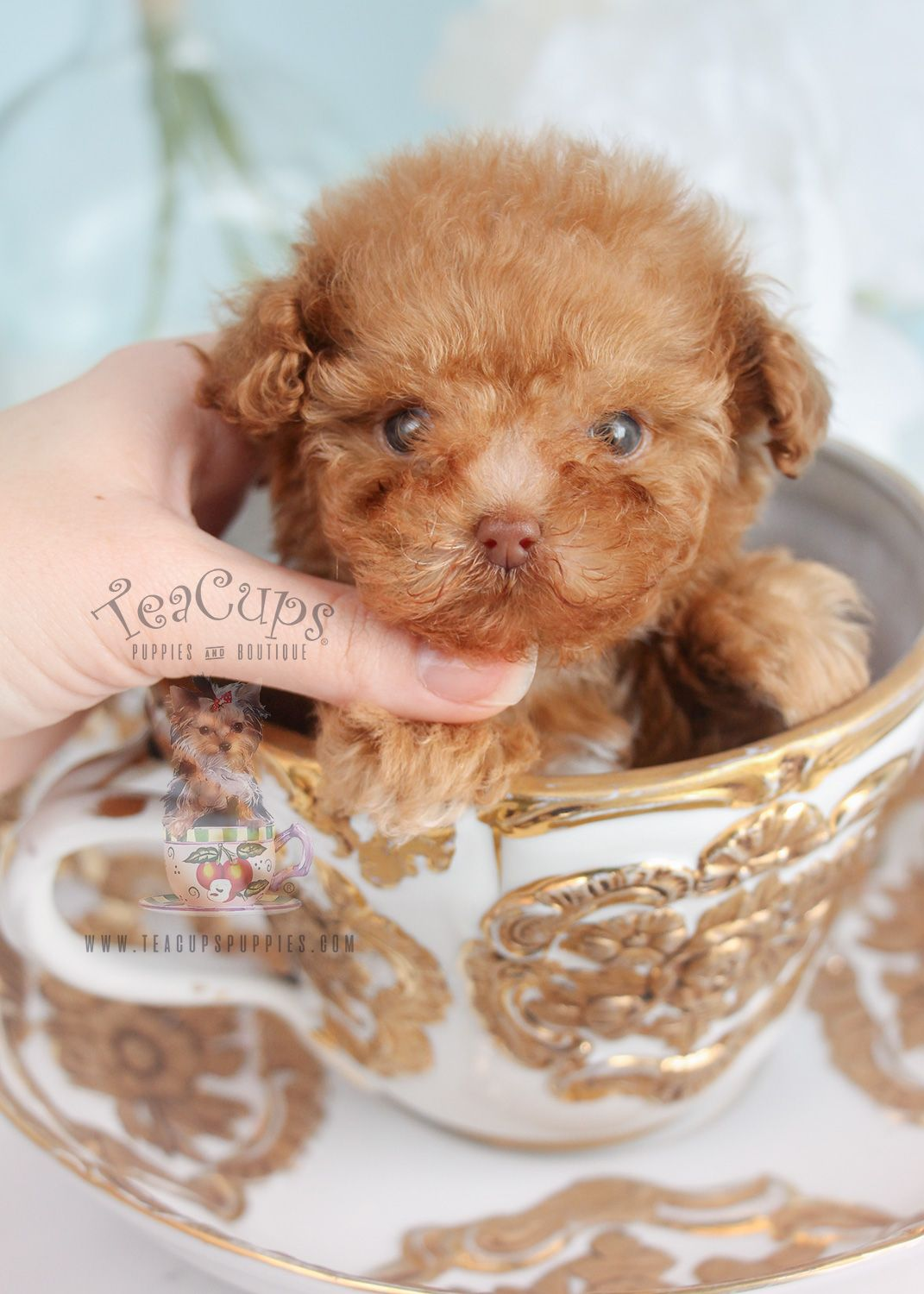 Gorgeous Teacup Poodle Puppy By Teacup Puppies Boutique