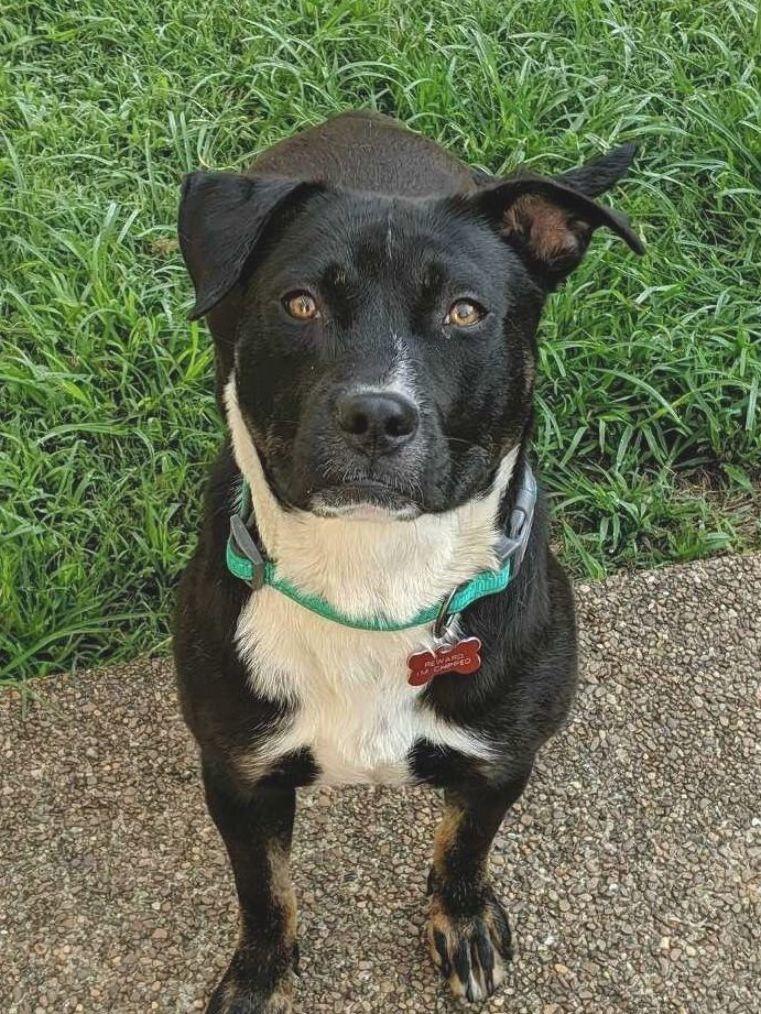 Dog for adoption petunia a boxer labrador retriever