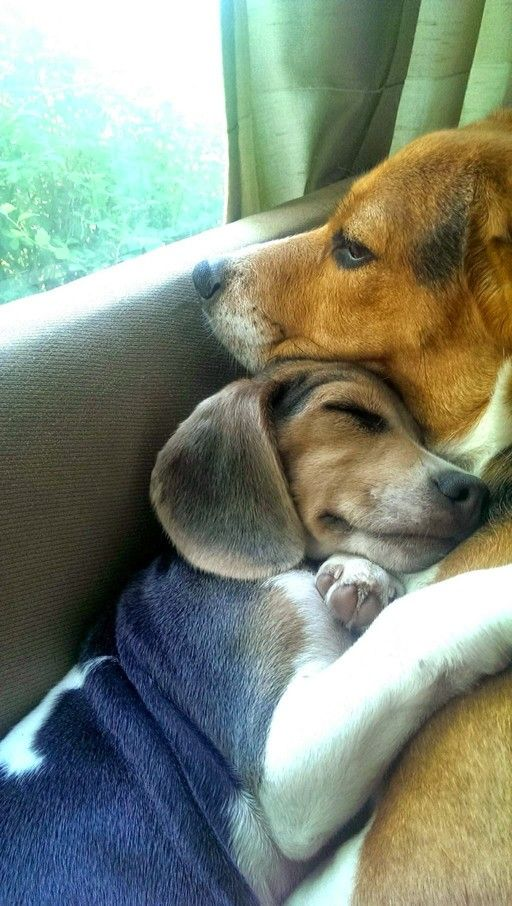 Cute Adorable Beagles Hugging Cute Beagles Puppies Cute Dogs