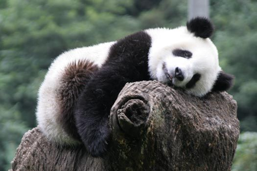 """As Grade I animal under national protection, the giant panda is a famous rare species of animal exclusively growing in China. Enjoying the fame of """"National Treasure"""", it has been winning the favor of people with its plump body form, charmingly naïve motion as well as black and white fur color."""