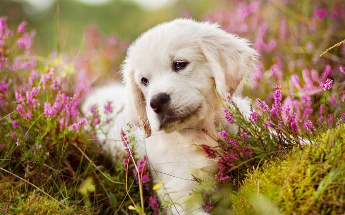Download Wallpapers Golden Retriever 4k Labrador Puppy Cute Dog Small Labrador Cute Animals Besthqwallpapers Com Labrador Retriever Golden Retriever Cute Dogs
