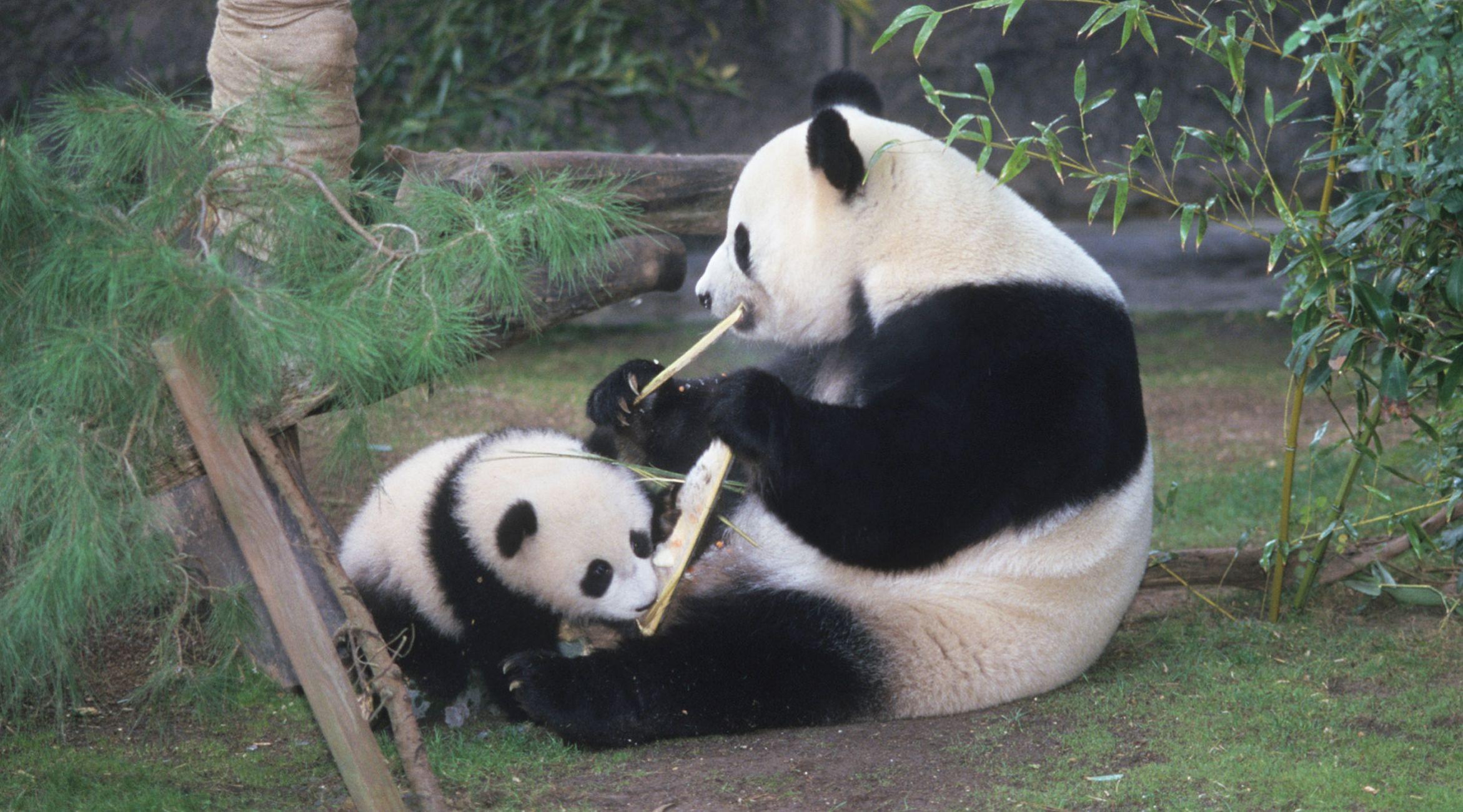 Bai Yun and Hua Mei San Diego Zoo's 1st panda baby | Cute