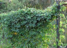 Pfeifenwinde Giftig riesenblättrige pfeifenwinde aristolochia gardens and plants