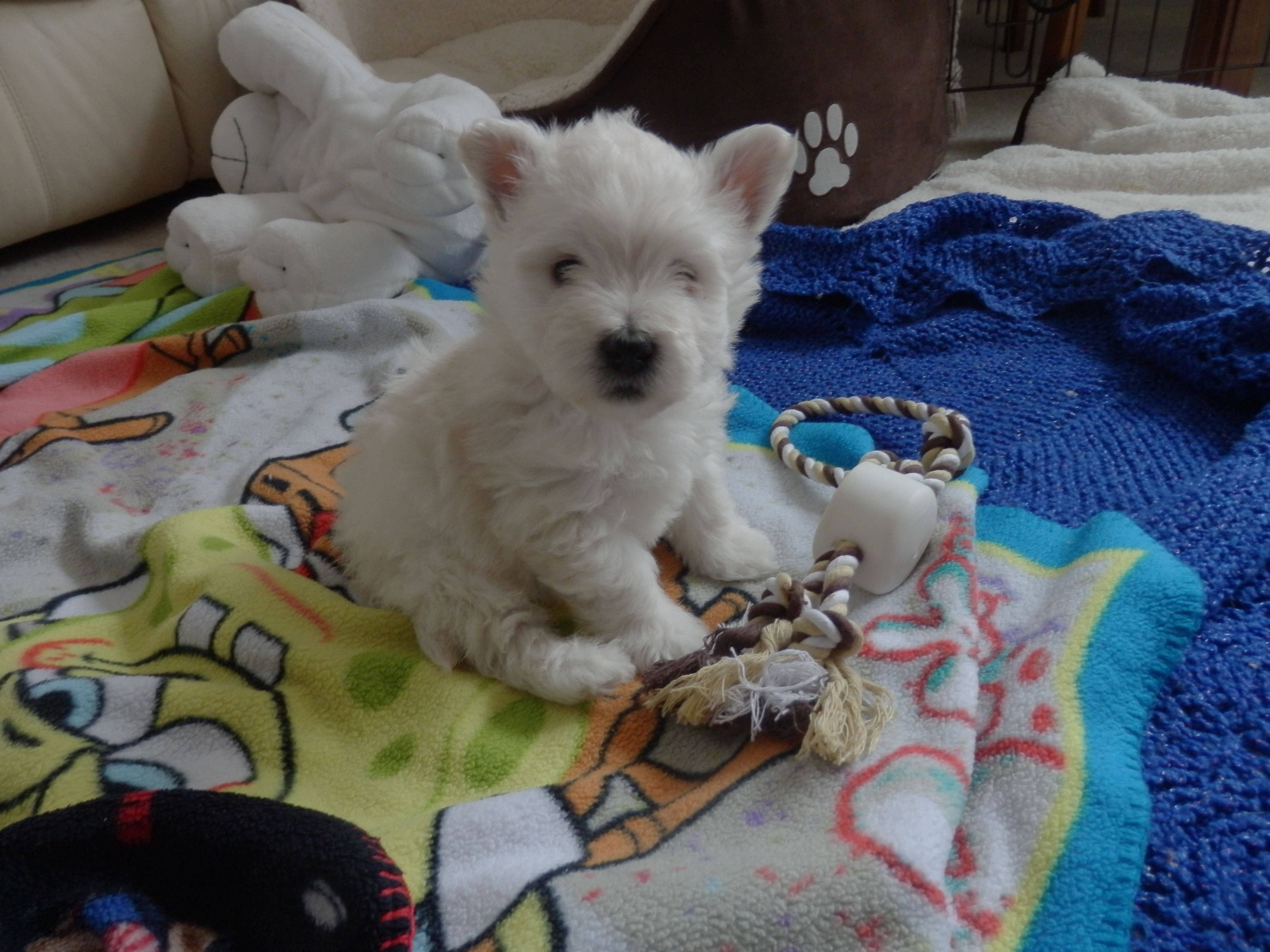 Teddy as baby Baby puppies, Cute dogs, Westies