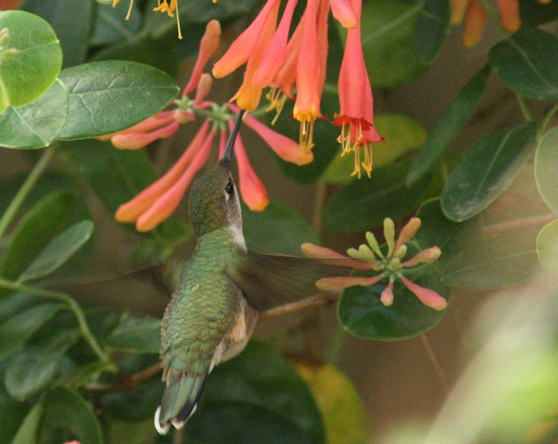 ruby female nectaring Ruby throated hummingbird, Hummingbird