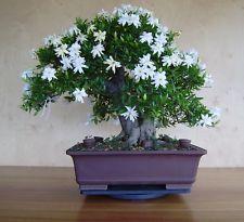RP: Common Gardenia | eBay.in