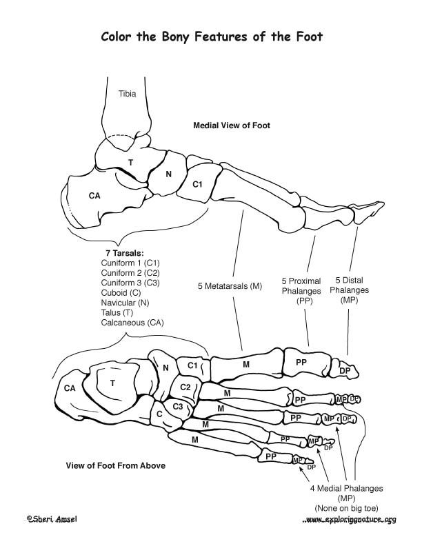 Bones Of The Foot Coloring Nature Anatomy Coloring Book Coloring Pages Anatomy