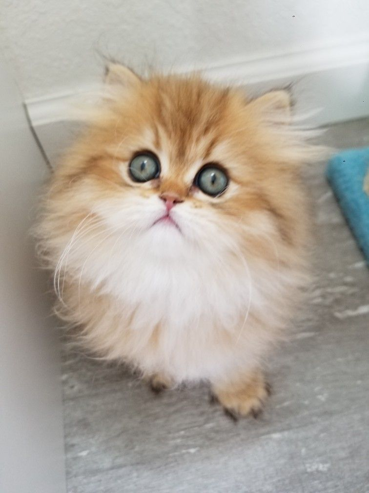 Baby Smoothie Kitten Cute Cats And Dogs Himalayan Kitten Baby Cats