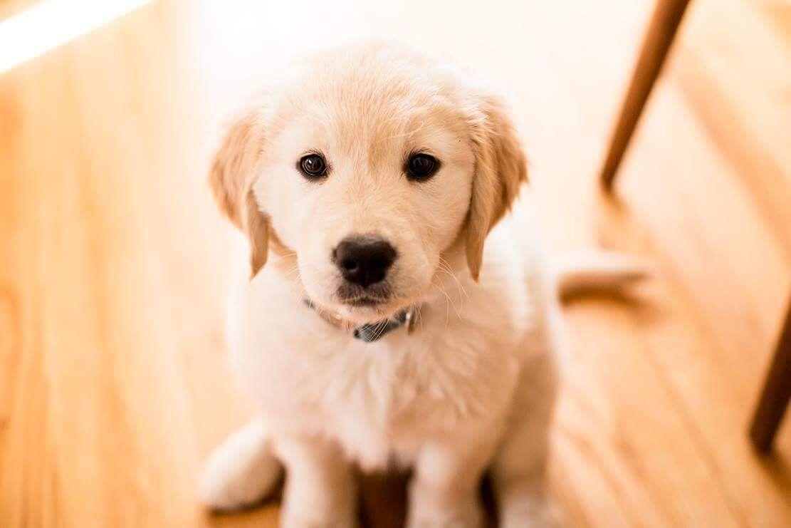 Cutest Puppy Face Ever Golden Retriever Dogs Golden Retriever