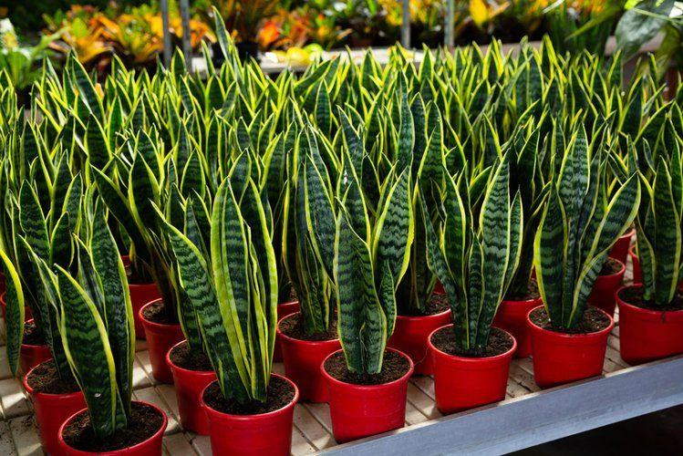 15 Roslin Doniczkowych Ktore Naprawde Maja Realny Wplyw Na Nasze Zdrowie Genialne Plants Geraniums Garden