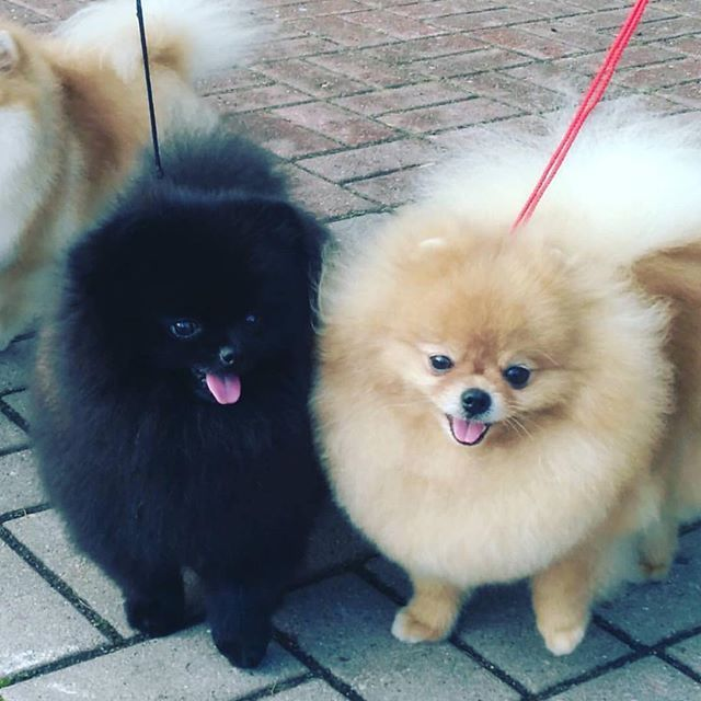 Pomeranian Puppies For Sale Get Pics And Price On Https Spitzpomeranian Co Uk Dogs Pomeranian Dog Cute Dogs