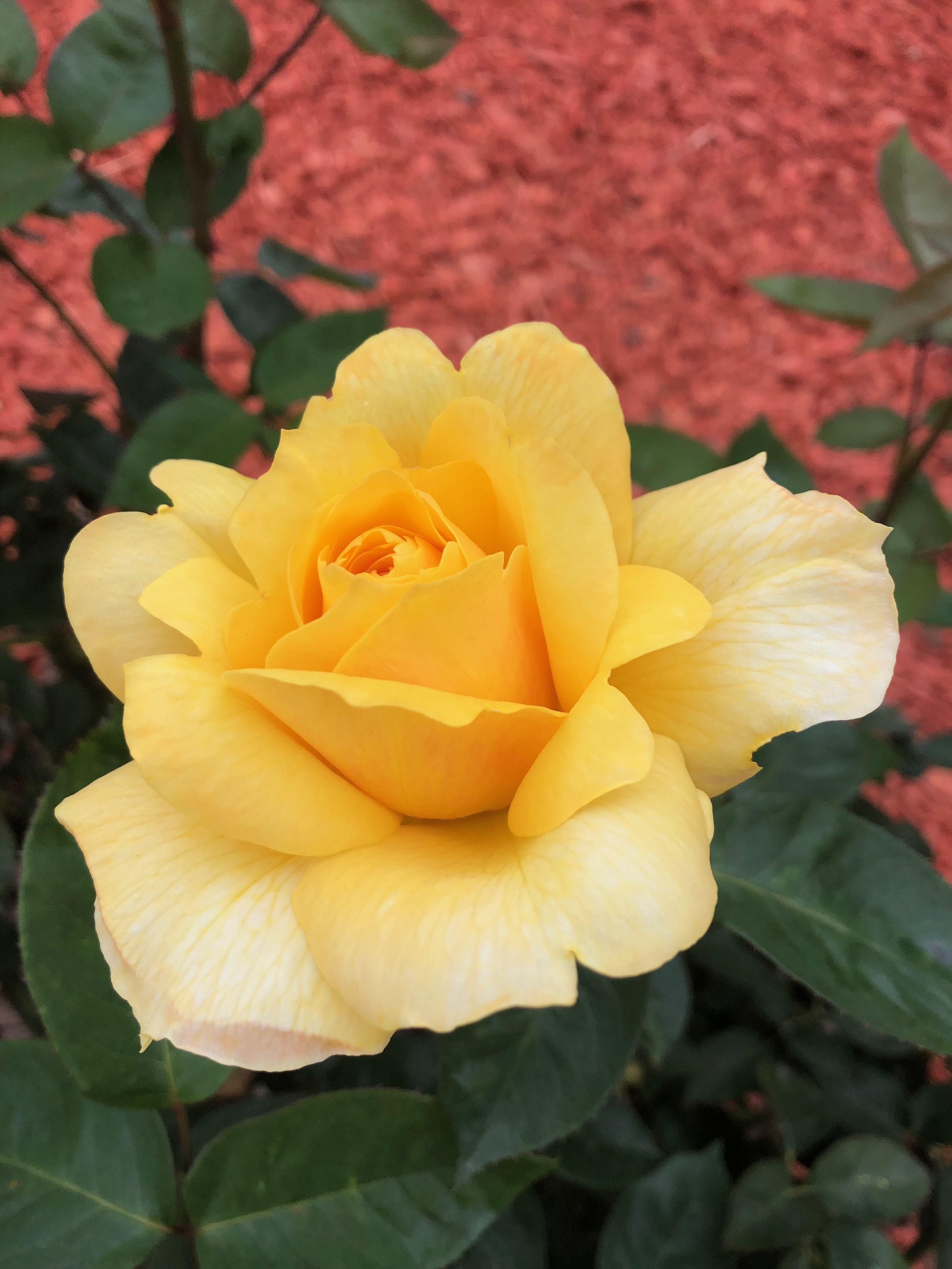 Yellow Rose Pflanzen Blumen Pflanzkubel