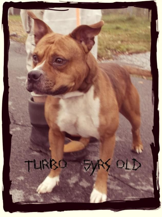 Adopt Turbo on Petfinder Staffordshire terrier mix