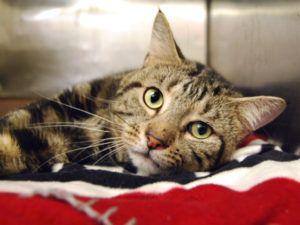 Lancelot A1086106 Foster Cat Cat Adoption Pet Adoption