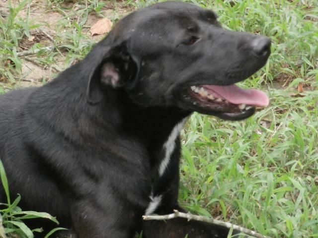 Gilly Black Labrador Retriever American Bulldog Mix Young Male Large Morning Meadow Animal Rescue Fordyce Ar Cat Breeder Find Pets Animal Rescue
