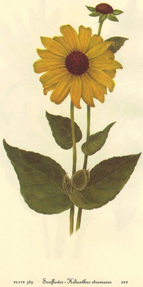 Vintage 1968 SUNFLOWER Color Print Wild Flowers of America ...
