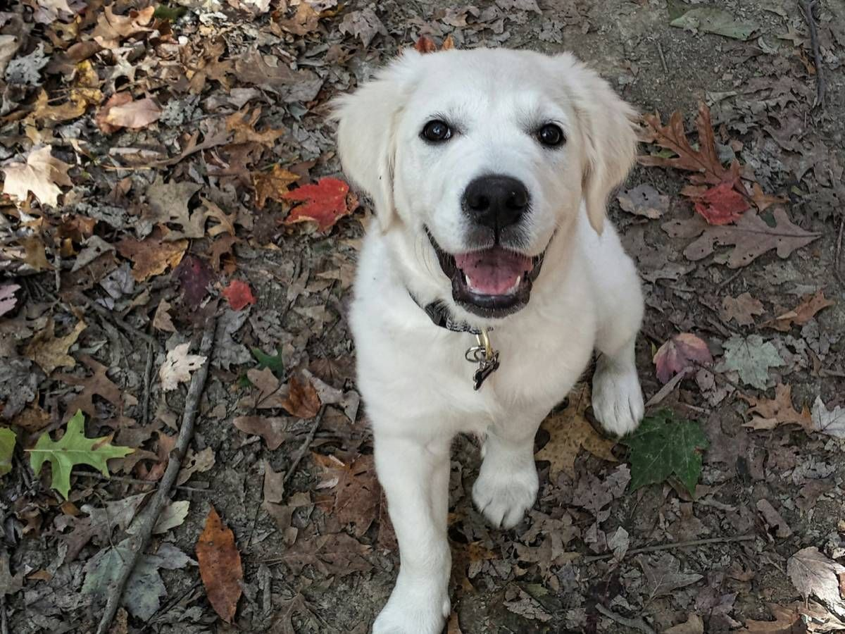 Puppies English Cream White Golden Retrievers Retriever